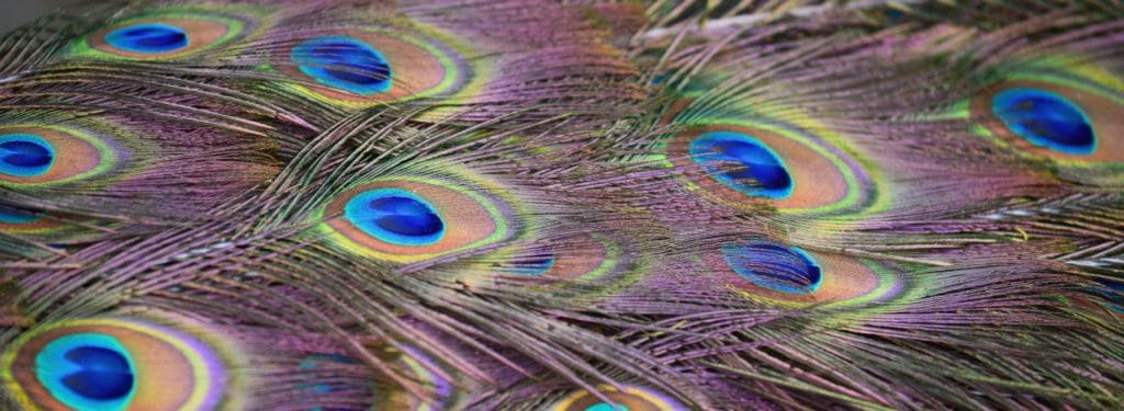 peacock background