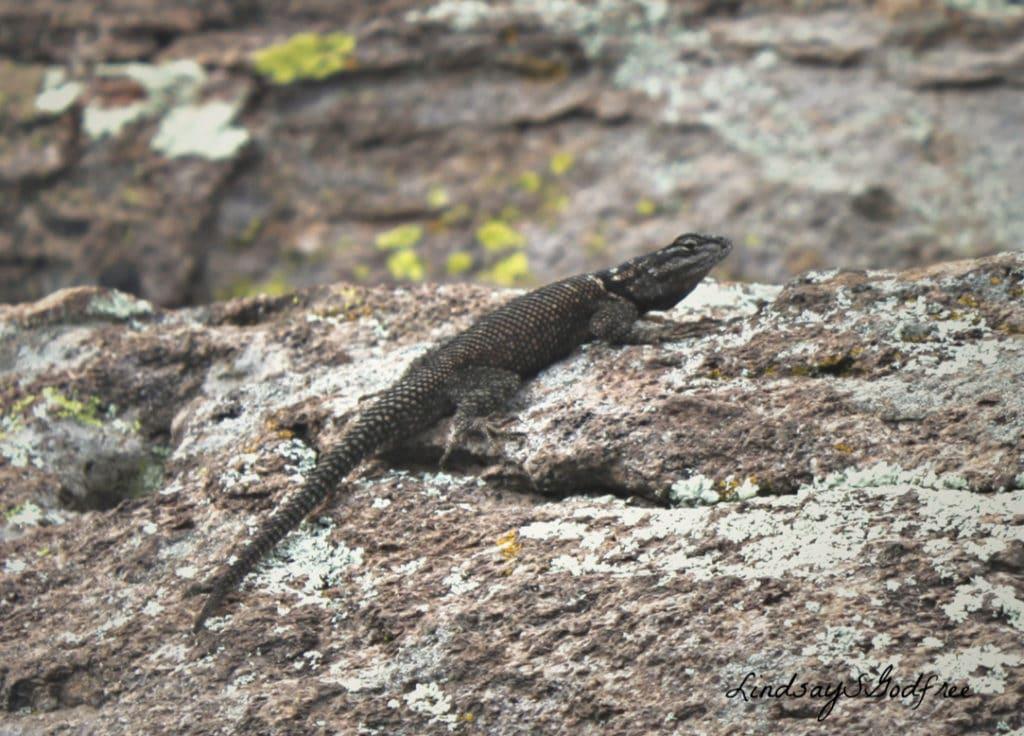 c lizard2