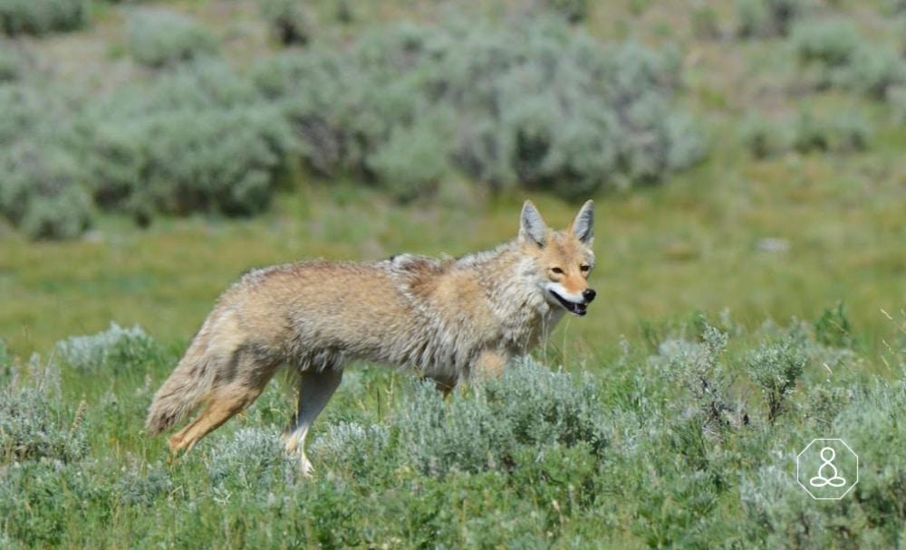 coyote spirit anima; (1)